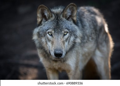 Close up portrait of a grey wolf (Canis Lupus) also known as Timber wolf in the Canadian forest during the summer months.