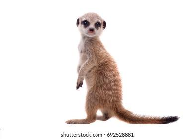 La suricata o cachorro suricate, 2 meses de edad, en blanco