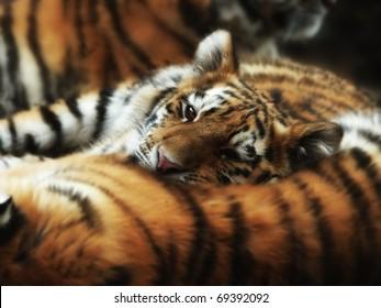 Un cachorro de tigre joven con la barbilla en la espalda de una madre dormida.