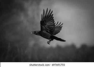 Vogel - Landung des schwarzen Raben (Corvus corax)