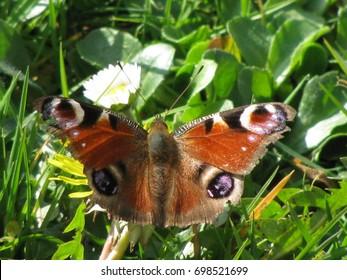Schöner Pfauenschmetterling, inachis io, auf Blume im Gras