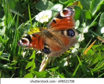 Schöner Pfauschmetterling auf Blume im Gras
