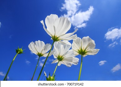 Close up white cosmos flower with blue sky background
