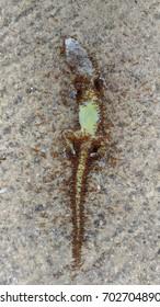 Tote Geckos.Ameisen fressen tote Kadaver auf Betonboden.Foto von asus zenfone.