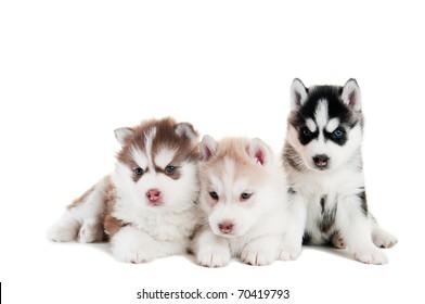 trzy małe słodkie szczeniak siberian husky pies o niebieskich oczach na białym tle