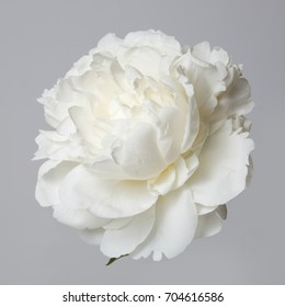 Weiße Pfingstrosenblume lokalisiert auf einem grauen Hintergrund.
