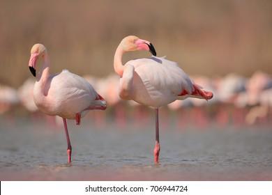 ピンクの大きな鳥オオフラミンゴ、Phoenicopterus ruber、水中、カマルグ、フランス。フラミンゴは羽を掃除します。自然からの野生動物のシーン。