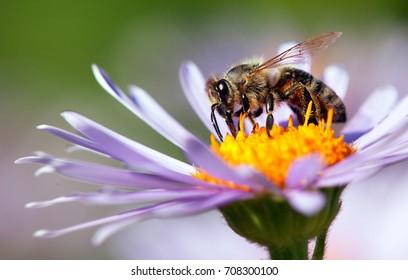Detail der Honigbiene im lateinischen Apis Mellifera, europäische oder westliche Honigbiene, die auf der violetten oder blauen Blume sitzt