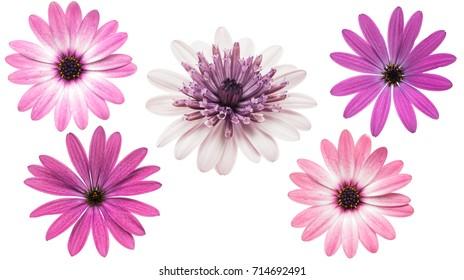 Osteosperumum Flower Daisy lokalisiert auf weißem Hintergrund. Makro-Nahaufnahme