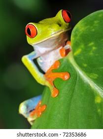 アカメアマガエルまたは派手な葉のカエルが不思議なことに葉を見ています、エキゾチックな両生類のマクロアマガエル鮮やかな虹の熱帯のジャングル、マヌエルアントニオ公園、コスタリカ、ラナヴェルデオホスロホレインフロッグnrパナマ