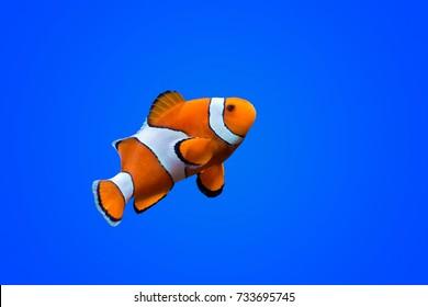 深い青色の海の色の背景にAmphiprioninaeカクレクマノミ