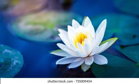 Weißer Lotus mit gelbem Pollen auf der Oberfläche des Teiches