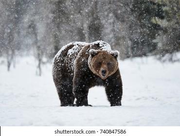 schöner Braunbär, der im Schnee in Finnland geht, während er einen starken Schneefall hinabsteigt