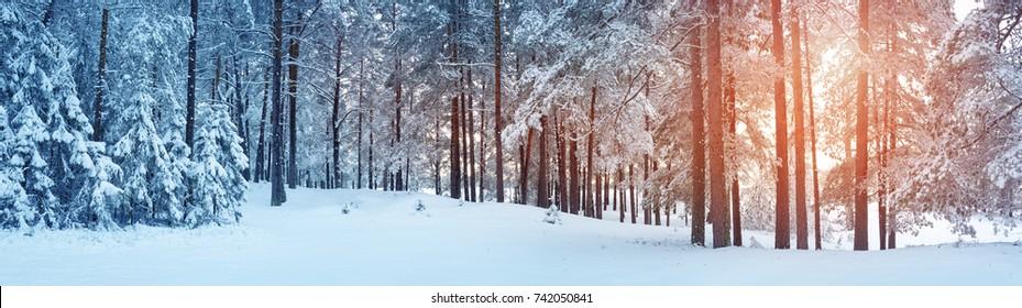 Pinos cubiertos de nieve en la noche helada. Hermoso panorama de invierno