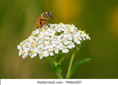 A Western Honey Bee is collecting nectar from a white Common Yarrow flower. Also know as a European Honey Bee. Rouge National Urban Park, Toronto, Ontario, Canada.
