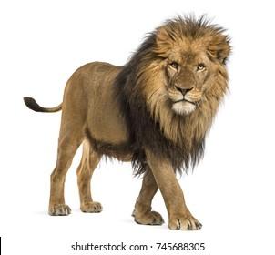 Seitenansicht eines Löwen, der geht, die Kamera betrachtet, Panthera Leo, 10 Jahre alt, lokalisiert auf Weiß