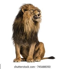 Löwe sitzt, brüllt, Panthera Leo, 10 Jahre alt, isoliert auf Weiß
