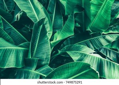 熱帯のバナナの葉のテクスチャ、大きなヤシの葉の自然ダークグリーンの背景