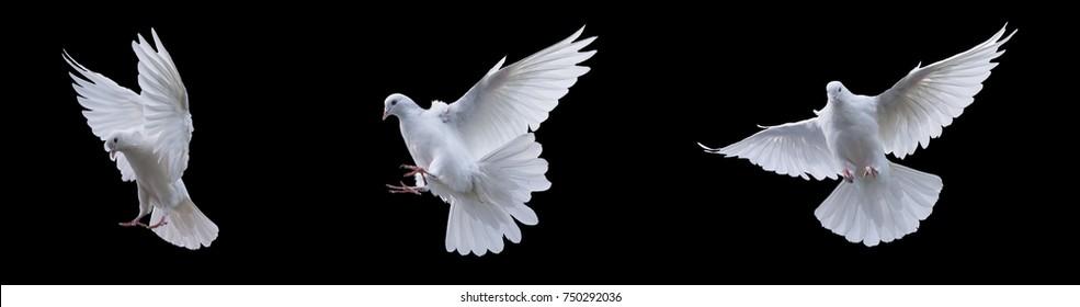 黒の背景に白い鳩を飛ばす
