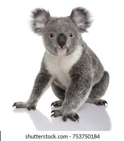 Jonge koala, phascolarctos cinereus, 14 maanden oud, zit op witte achtergrond
