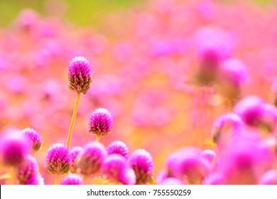 美しくカラフルな花センニチコウ