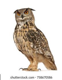 Retrato de Eurasia Eagle-Owl, Bubo bubo, una especie de búho real, de pie delante de un fondo blanco
