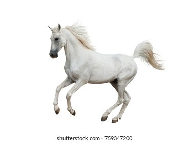 White arabian horse isolated over a white background