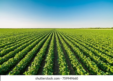 Campo de soja de maduración verde, paisaje agrícola