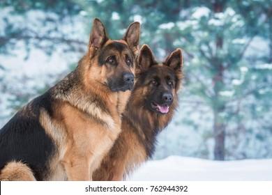 冬の2匹のジャーマンシェパード犬の肖像画