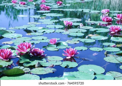 Pink Water Lilies (Nymphaeaceae) with Green Leaves on a Small Pond