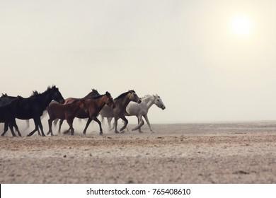 トルコの晴れた夏の日に美しい馬と平野。サラブレッド種の馬の群れ。馬の群れは劇的な夕焼け空に対して砂漠のほこりの中を速く走ります。野生の馬