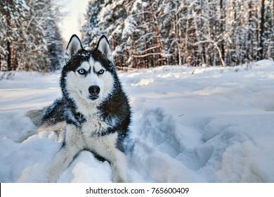 雪の中で横たわっているハスキー犬。ウィンターパークの散歩に青い目をした黒と白のシベリアンハスキー。
