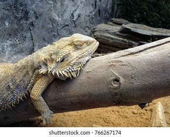 Bearded Dragon Sleeping on a Wood