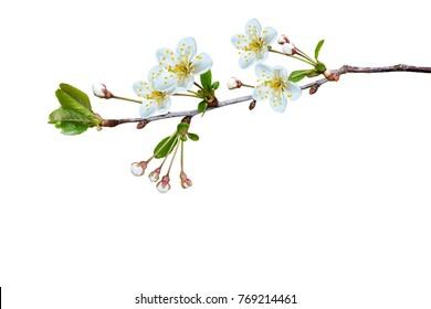 Blühender Fruchtzweig lokalisiert auf weißem Hintergrund.