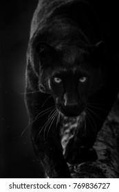 Black Panther dier