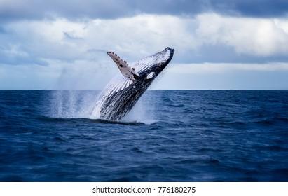 オーストラリアの水から飛び出すザトウクジラ。クジラは水を噴霧していて、仰向けに倒れる準備ができています。