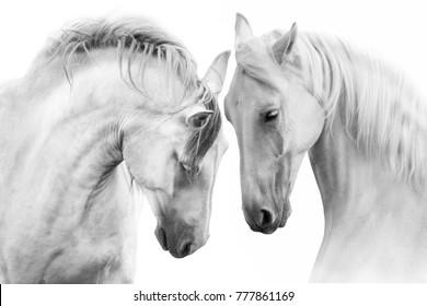 白い背景で隔離の美しい白い馬のカップル。ハイキー画像