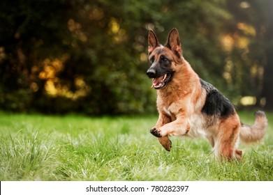 Running german shepherd dog