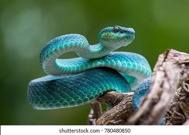 青い毒蛇、有毒で有毒なヘビ