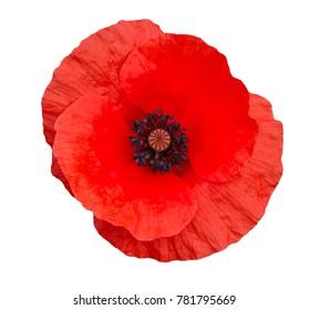 leuchtend rote Mohnblume lokalisiert auf weißer Draufsicht