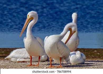 "American White Pelicans sun bathing at J. N. ""Ding"" Darling National Wildlife Refuge on Sanibel Island, Florida"