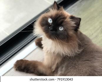 Cute Himalayan cat siting next to the door.