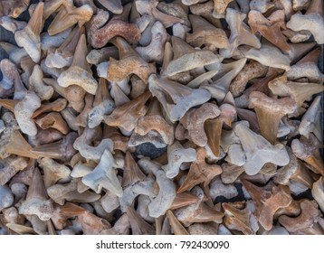 A pile of shark teeth on the market. The scary bite of the sea predator has been an inspiration for more than one movie and the fossils of some specimens are  the size of a human hand.