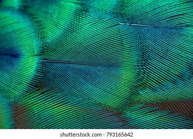 クローズアップの孔雀の羽