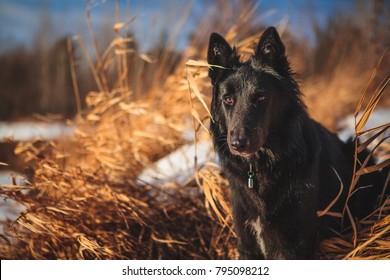 冬の雪に覆われた森のベルギーの羊飼いの犬