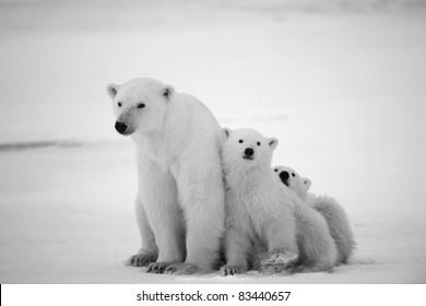 Eisbärin mit Jungen. Eine Eisbärin mit zwei kleinen Bärenjungen. Rund um Schnee. Schwarzes und weißes Foto.