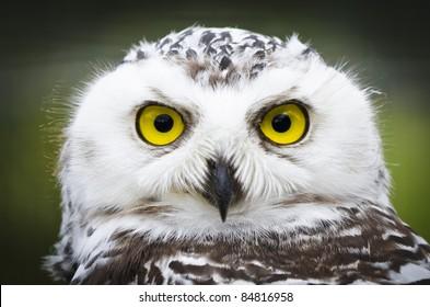 カメラを直接見ている受動的なシロフクロウ(Bubo scandiacus)の正面の肖像画(ヘッドショット)は、魅惑的で大きく開いた黄色い目を示しています。