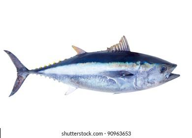 Roter Thun Thunnus thynnus Salzwasserfisch lokalisiert auf Weiß