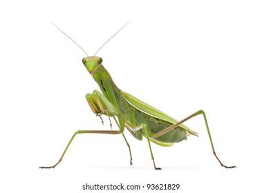 Mantis europea femenina o mantis religiosa, mantis religiosa, delante de un fondo blanco