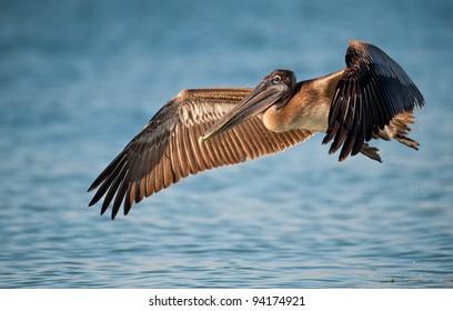 Brown pelican (Pelecanus occidentalis) in flight in Sanibel Island, Florida